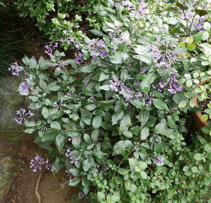 プレクトランサスモナラベンダーがたくさん咲いた。2017年-4.jpg