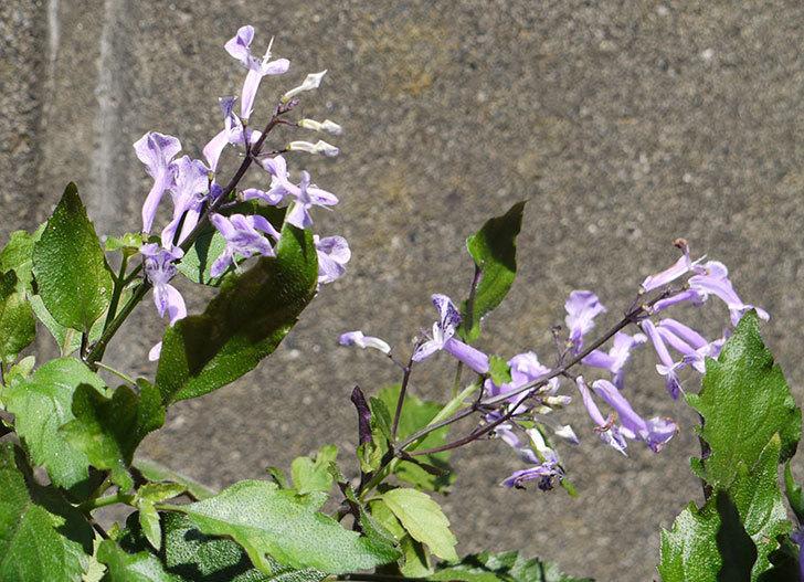 プレクトランサスモナラベンダーが咲いた。2016年-3.jpg