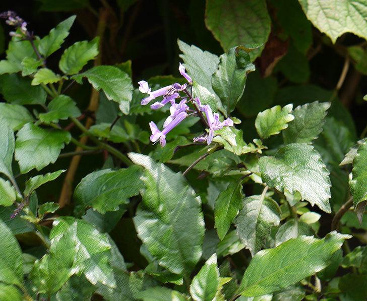 プレクトランサスモナラベンダーが咲き出した。2016年-1.jpg