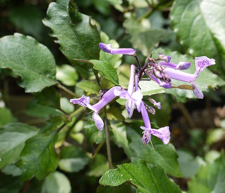 プレクトランサスモナラベンダーが咲き出した。2016年-2.jpg
