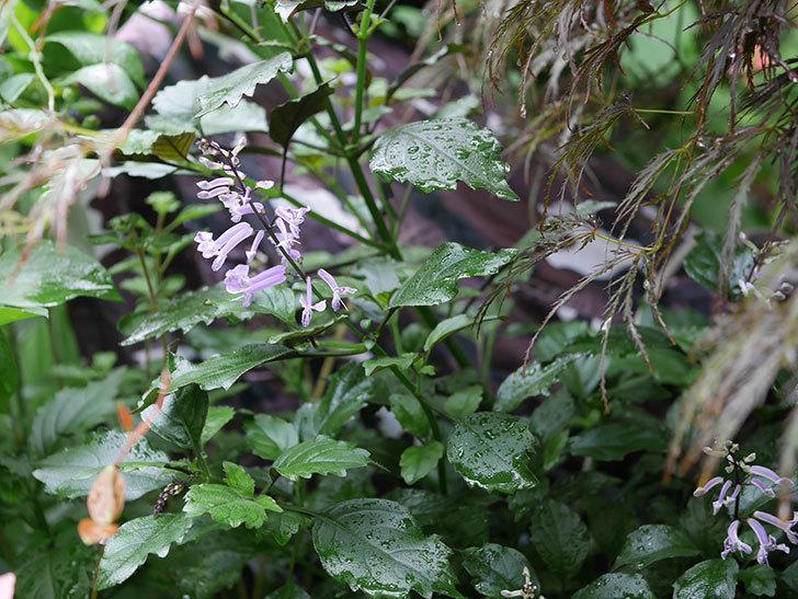 プレクトランサスモナラベンダーの花が咲いた。2019年-2.jpg