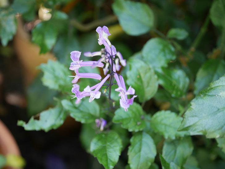 プレクトランサスモナラベンダーの花が咲いた。2020年-002.jpg