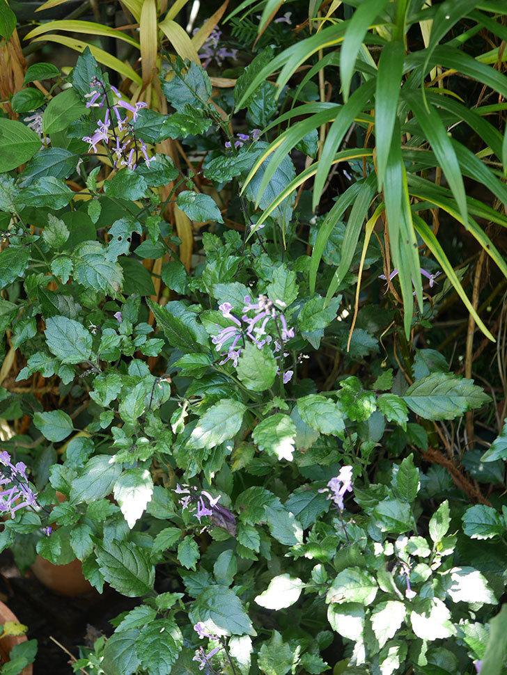 プレクトランサスモナラベンダーの花が咲いた。2020年-005.jpg