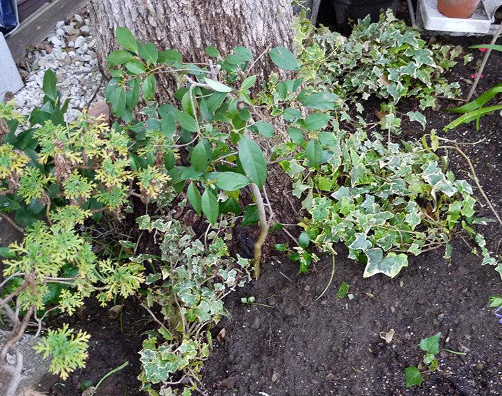 ヘデラをクスノキの周りに地植えした。2016年-3.jpg