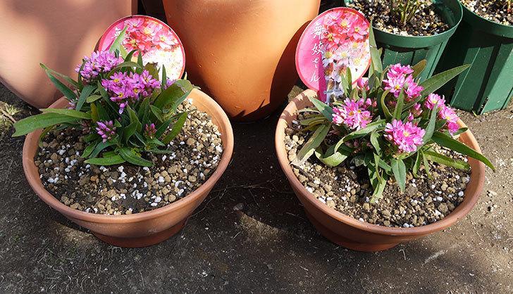 ヘリクリサム・カシアナム・ターナーローズ(舞妓さん)を鉢に植えた。2016年-1.jpg