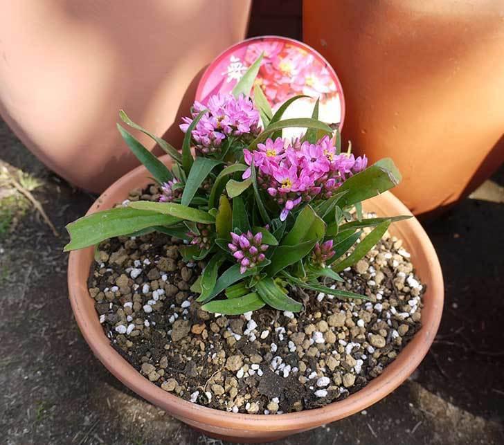 ヘリクリサム・カシアナム・ターナーローズ(舞妓さん)を鉢に植えた。2016年-10.jpg