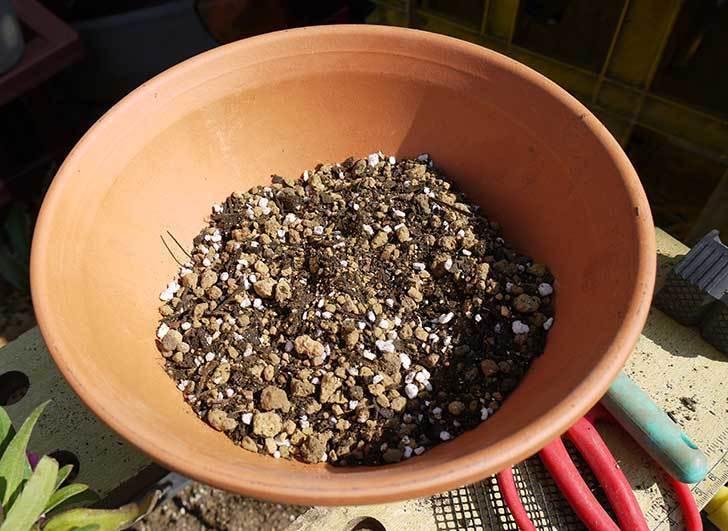 ヘリクリサム・カシアナム・ターナーローズ(舞妓さん)を鉢に植えた。2016年-8.jpg