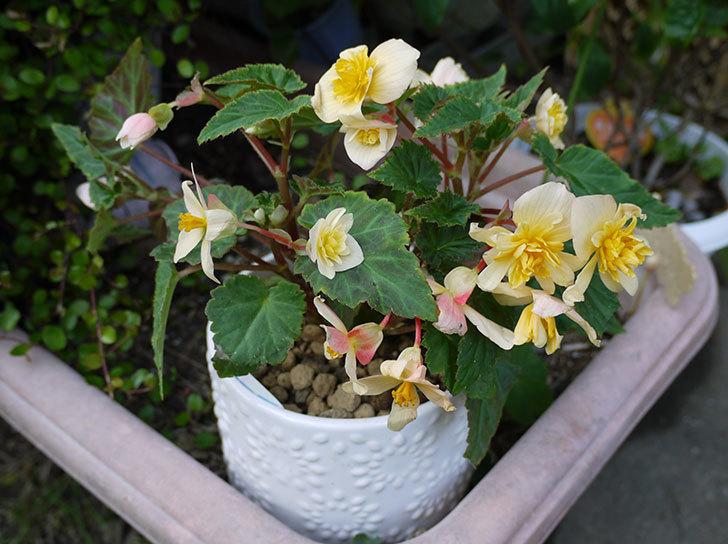 ベゴニア-アプリコットファンタジーを鉢に植えた1.jpg