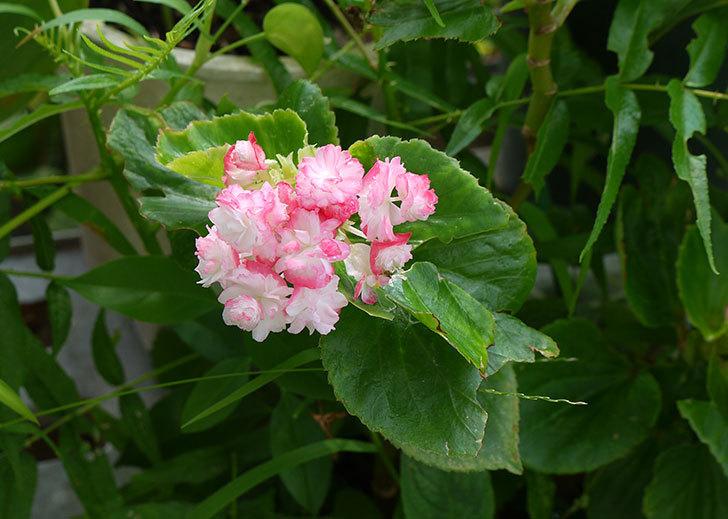 ベゴニアが咲いた1.jpg