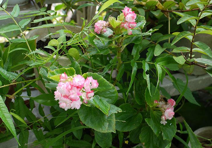 ベゴニアが咲いた2.jpg