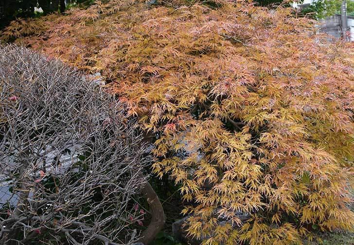 ベニシダレ(紅枝垂)が紅葉してきた。2015年-2.jpg