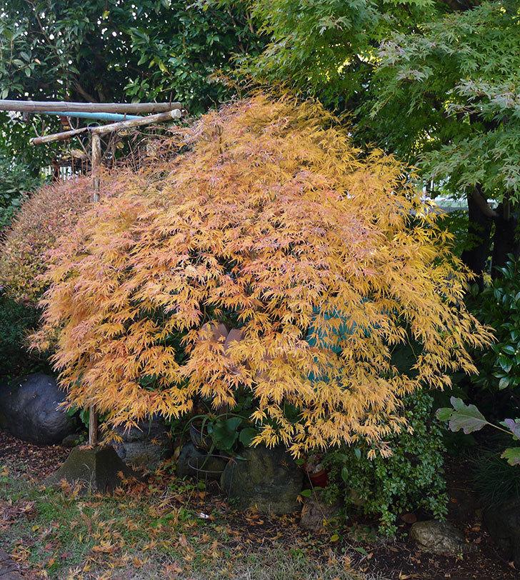 ベニシダレ(紅枝垂)が綺麗に紅葉した。2016年-2.jpg