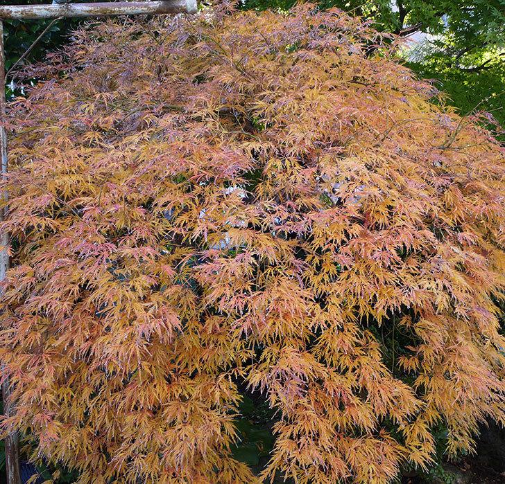 ベニシダレ(紅枝垂)が綺麗に紅葉した。2016年-3.jpg