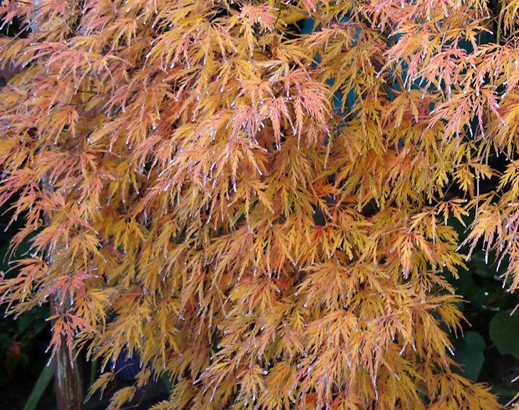 ベニシダレ(紅枝垂)が綺麗に紅葉した。2016年-4.jpg