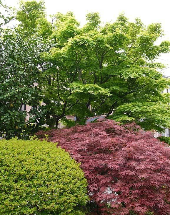 ベニシダレ(紅枝垂)とモミジの新緑が良い感じになった。2015年-1.jpg