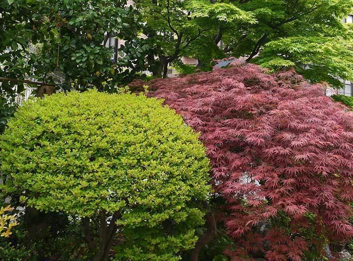 ベニシダレ(紅枝垂)とモミジの新緑が良い感じになった。2015年-2.jpg