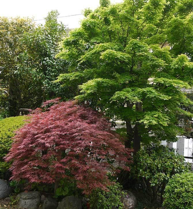 ベニシダレ(紅枝垂)とモミジの新緑が良い感じになった。2015年-3.jpg