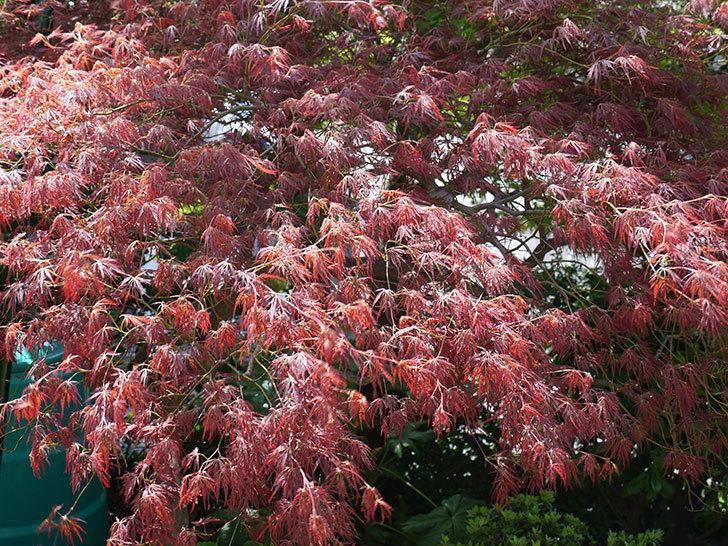 ベニシダレ(紅枝垂)の新緑が赤くて綺麗。2017年-2.jpg