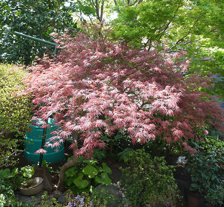 ベニシダレ(紅枝垂)の新緑が赤くて綺麗。2017年-3.jpg