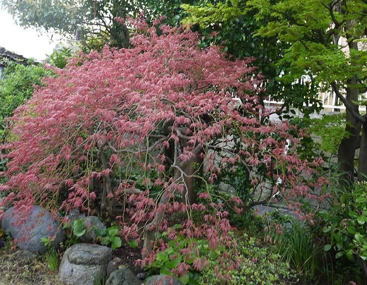 ベニシダレ(紅枝垂)の新芽が出てきた。2015年-1.jpg