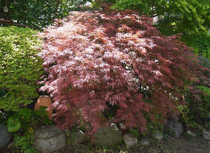 ベニシダレ(紅枝垂)の新芽が赤くて良い感じになった。2016年-1.jpg