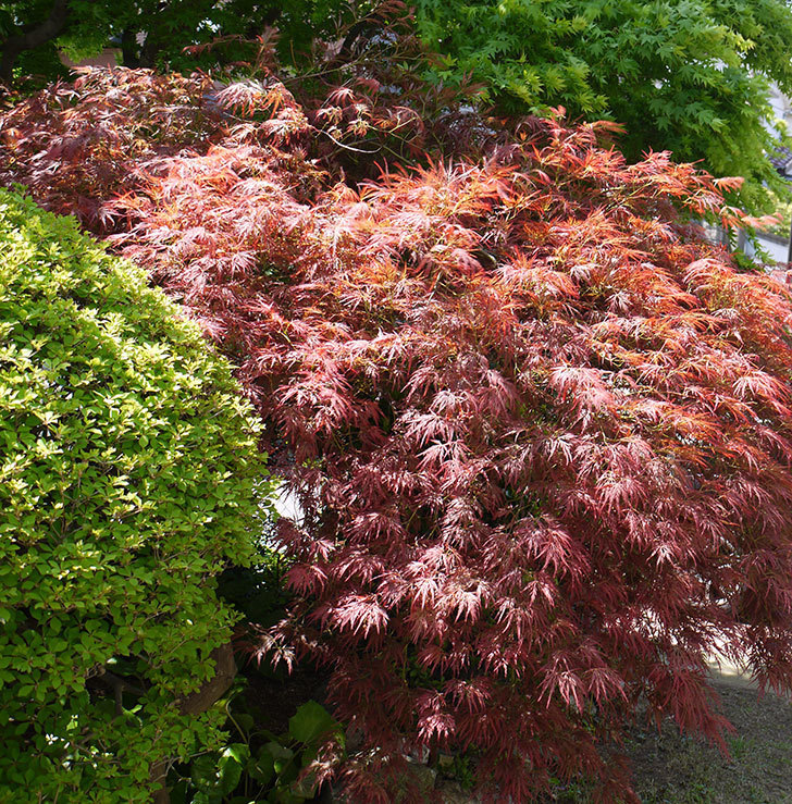 ベニシダレ(紅枝垂)の新芽が赤くて良い感じになった。2016年-2.jpg
