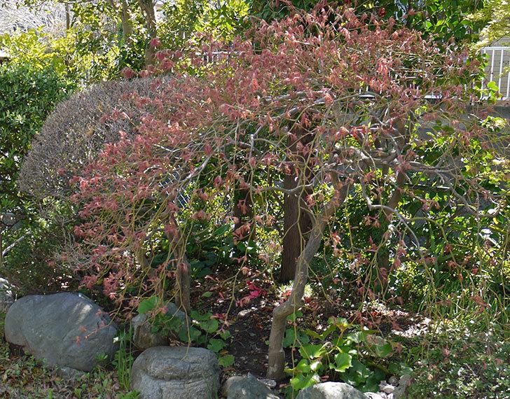 ベニシダレ(紅枝垂)の芽が出てきた1.jpg