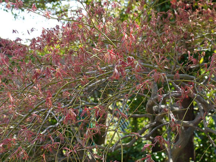 ベニシダレ(紅枝垂)の芽が出てきた2.jpg