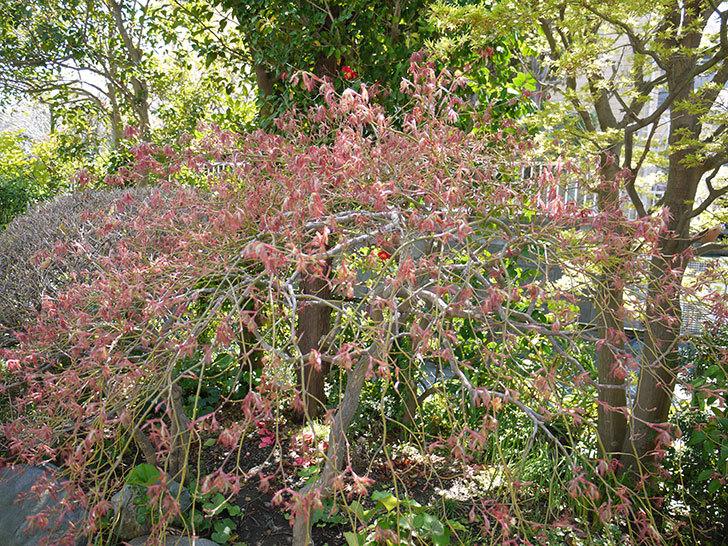 ベニシダレ(紅枝垂)の芽が出てきた3.jpg