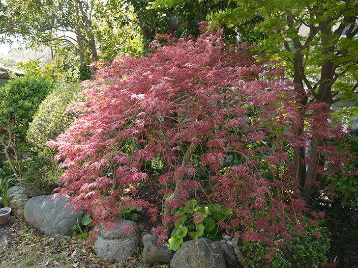 ベニシダレ(紅枝垂)の葉が急に大きくなった1.jpg