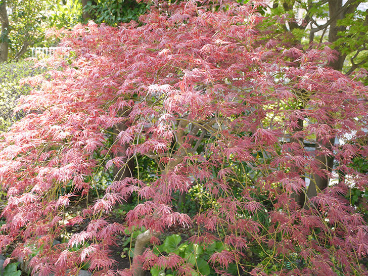 ベニシダレ(紅枝垂)の葉が急に大きくなった2.jpg