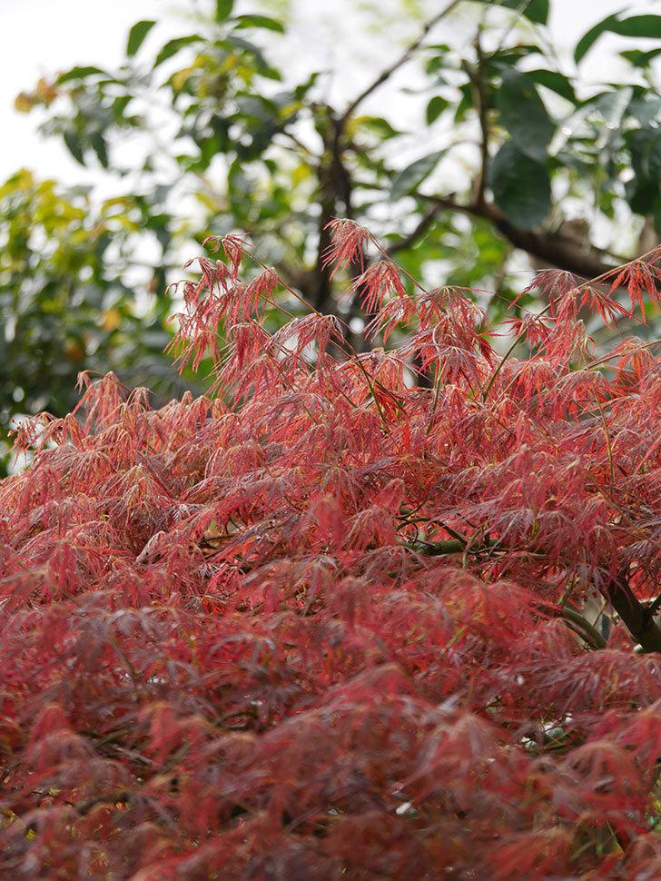 ベニシダレ(紅枝垂)の赤い新芽が良い感じになってきた。2021年-002.jpg