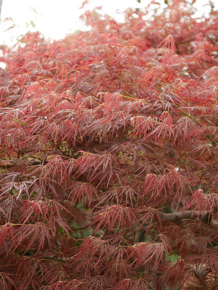 ベニシダレ(紅枝垂)の赤い新芽が良い感じになってきた。2021年-003.jpg