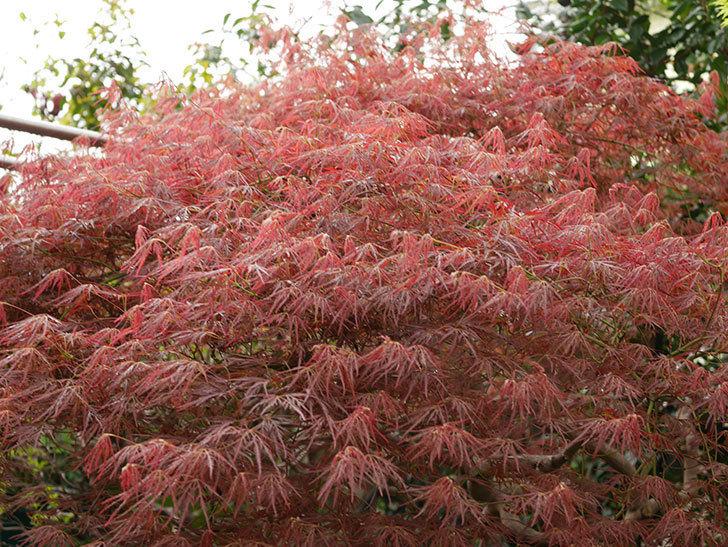 ベニシダレ(紅枝垂)の赤い新芽が良い感じになってきた。2021年-004.jpg
