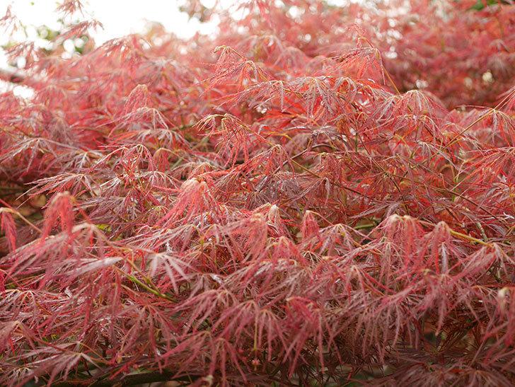 ベニシダレ(紅枝垂)の赤い新芽が良い感じになってきた。2021年-005.jpg