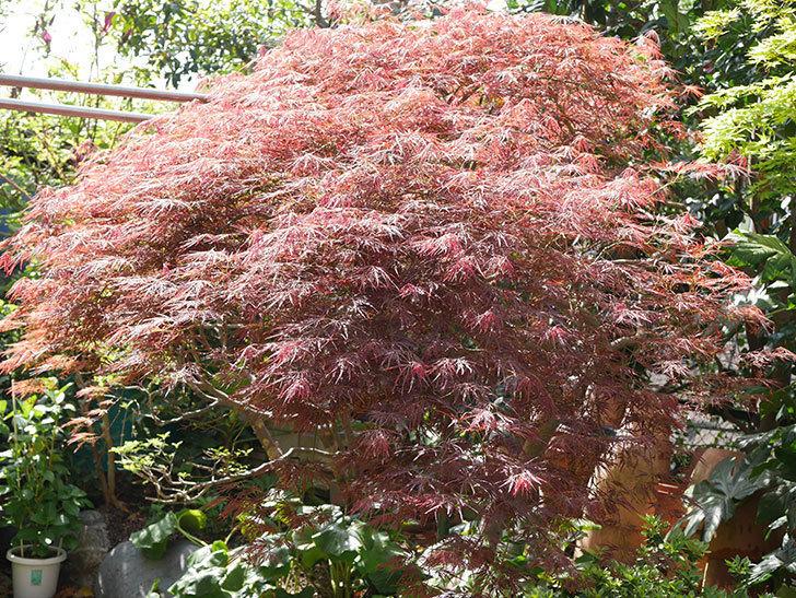 ベニシダレ(紅枝垂)の赤い新芽が良い感じになってきた。2021年-006.jpg
