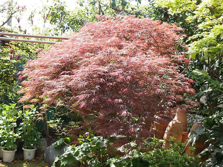ベニシダレ(紅枝垂)の赤い新芽が良い感じになってきた。2021年-007.jpg
