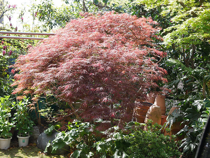 ベニシダレ(紅枝垂)の赤い新芽が良い感じになってきた。2021年-008.jpg