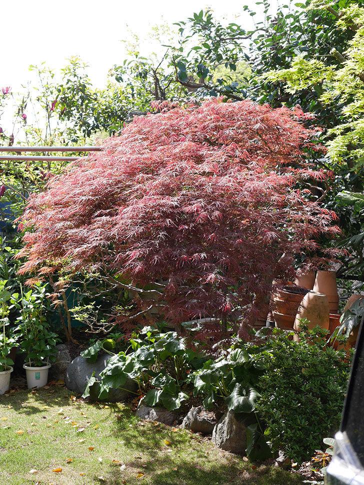 ベニシダレ(紅枝垂)の赤い新芽が良い感じになってきた。2021年-009.jpg