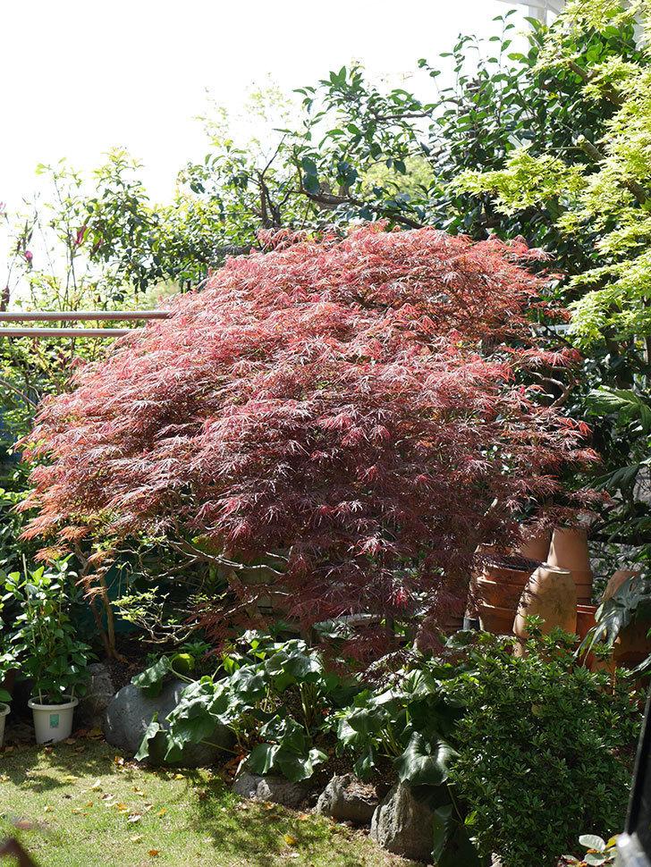 ベニシダレ(紅枝垂)の赤い新芽が良い感じになってきた。2021年-010.jpg
