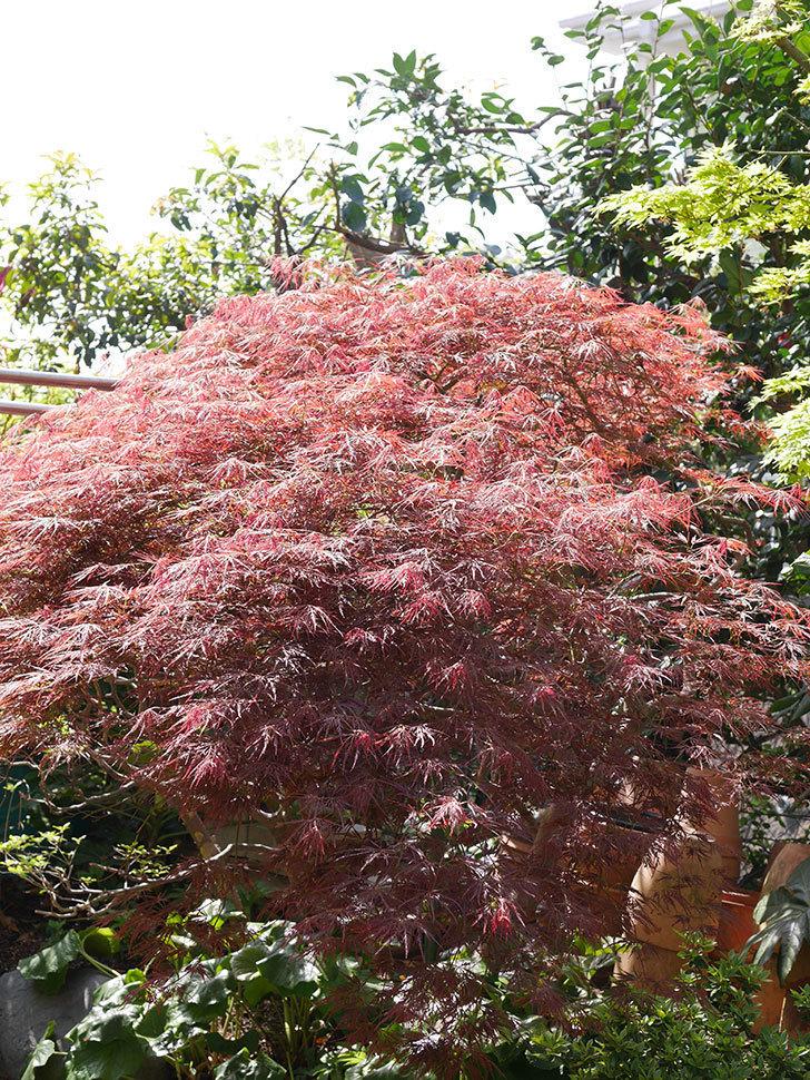 ベニシダレ(紅枝垂)の赤い新芽が良い感じになってきた。2021年-011.jpg