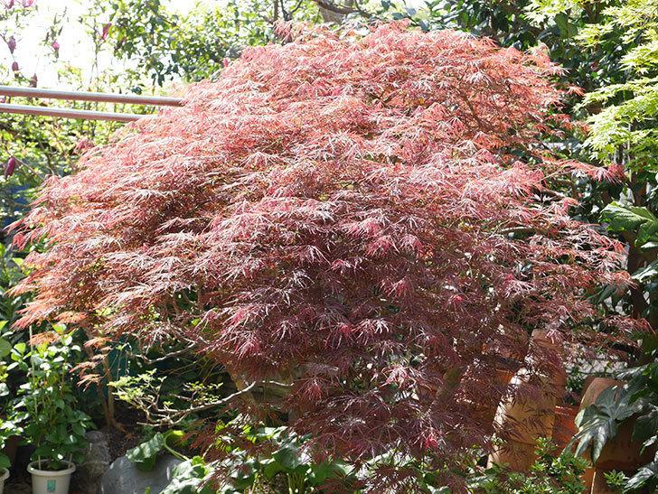 ベニシダレ(紅枝垂)の赤い新芽が良い感じになってきた。2021年-012.jpg