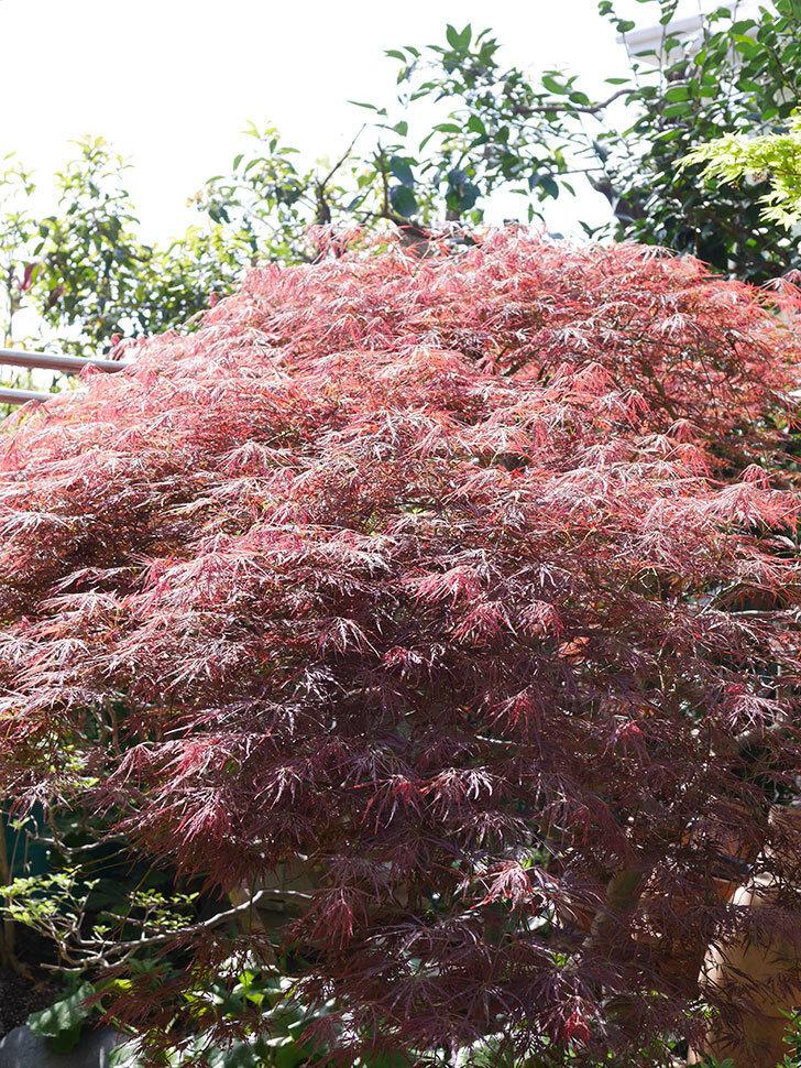 ベニシダレ(紅枝垂)の赤い新芽が良い感じになってきた。2021年-013.jpg