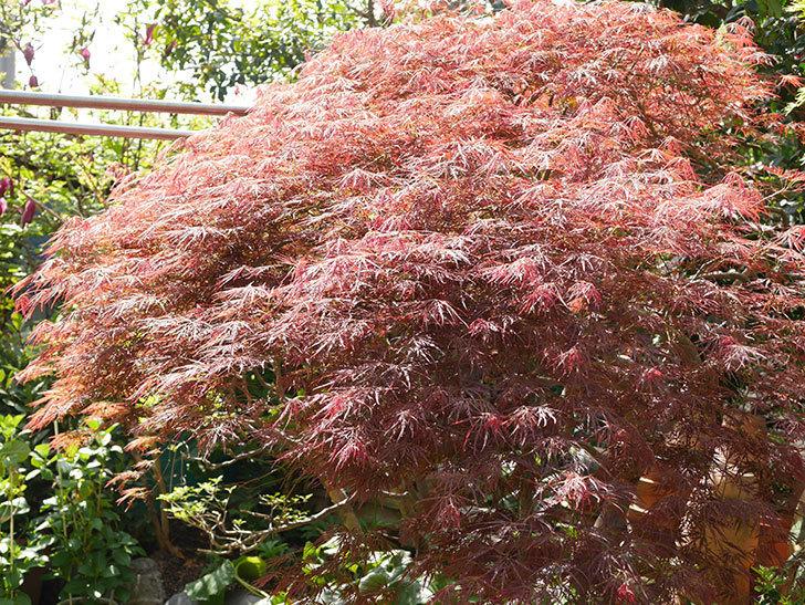 ベニシダレ(紅枝垂)の赤い新芽が良い感じになってきた。2021年-014.jpg