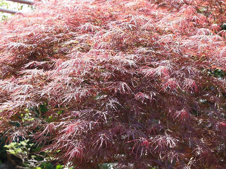 ベニシダレ(紅枝垂)の赤い新芽が良い感じになってきた。2021年-015.jpg