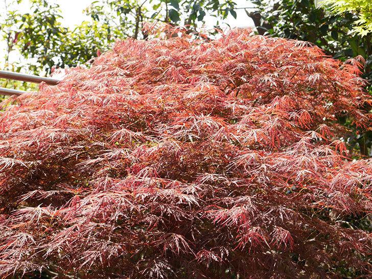 ベニシダレ(紅枝垂)の赤い新芽が良い感じになってきた。2021年-016.jpg