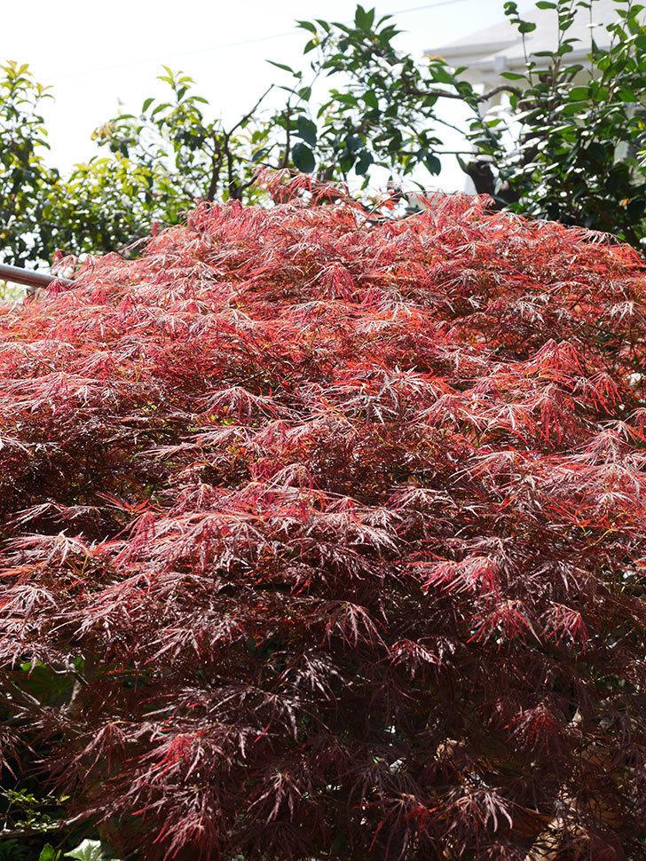 ベニシダレ(紅枝垂)の赤い新芽が良い感じになってきた。2021年-017.jpg