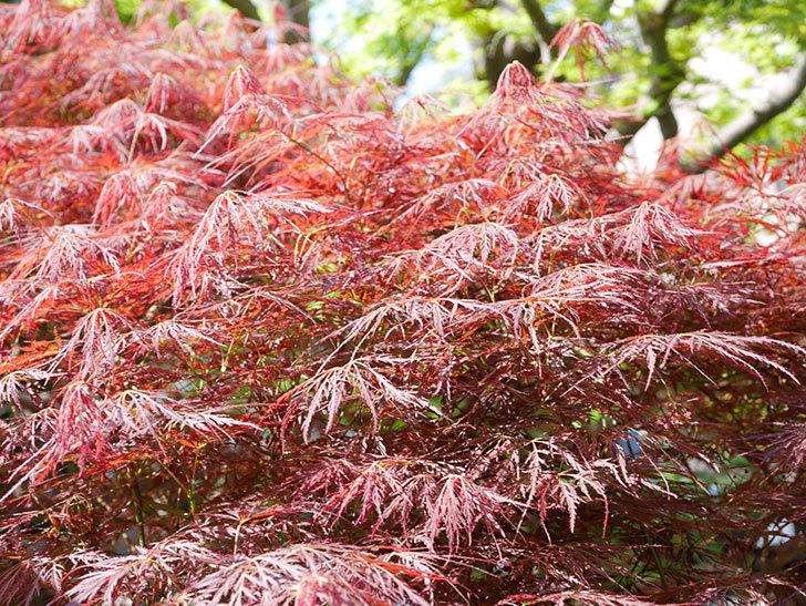 ベニシダレ(紅枝垂)の赤い新芽が良い感じになってきた。2021年-019.jpg
