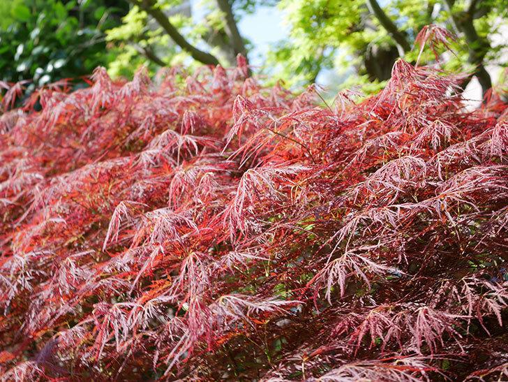 ベニシダレ(紅枝垂)の赤い新芽が良い感じになってきた。2021年-020.jpg