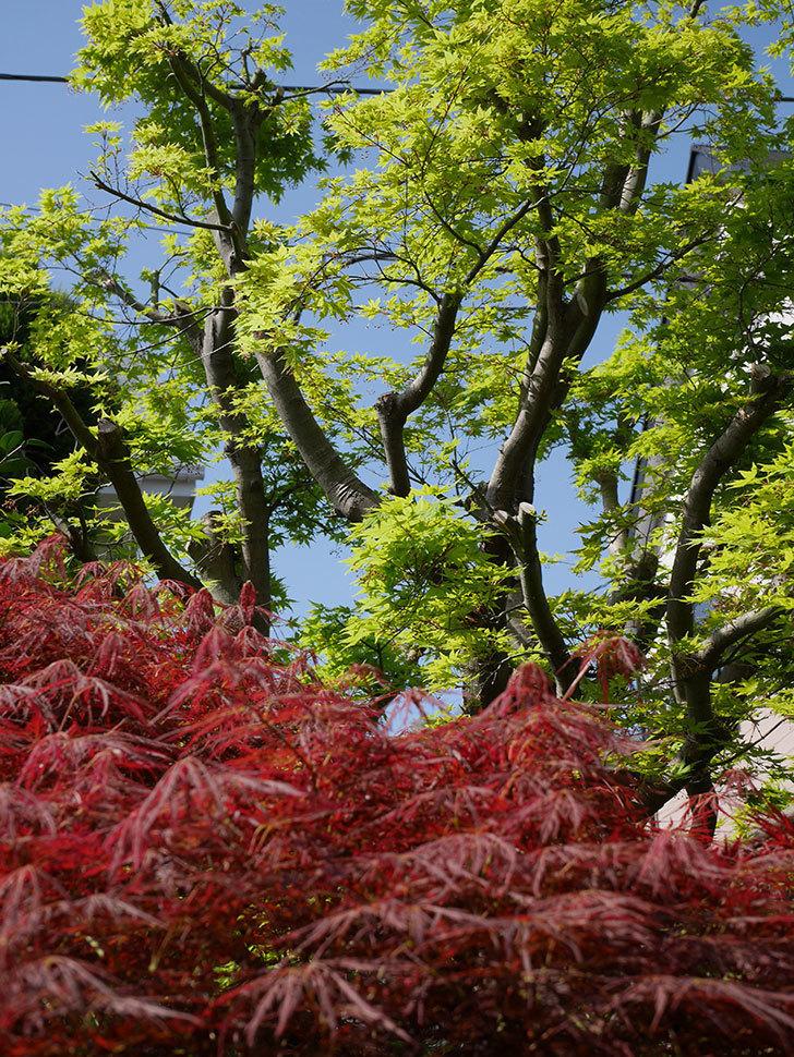 ベニシダレ(紅枝垂)の赤い新芽が良い感じになってきた。2021年-021.jpg